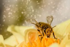 Free Honey Bee, Bee, Insect, Membrane Winged Insect Stock Photos - 95663183