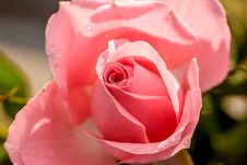 Free Rose, Flower, Rose Family, Pink Stock Photos - 95664593