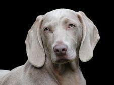 Free Weimaraner, Dog Breed, Dog, Dog Like Mammal Royalty Free Stock Image - 95665266