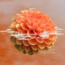 Free Flower, Orange, Dahlia, Petal Stock Photos - 95665393
