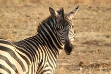 Free Wildlife, Zebra, Terrestrial Animal, Grassland Stock Photo - 95665990