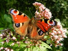 Free Butterfly, Insect, Moths And Butterflies, Brush Footed Butterfly Stock Image - 95669491