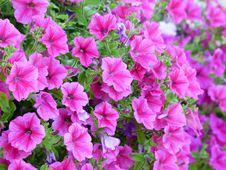Free Flower, Pink, Plant, Annual Plant Stock Images - 95671274