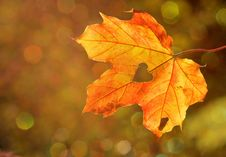 Free Maple Leaf, Leaf, Autumn, Deciduous Stock Images - 95671784