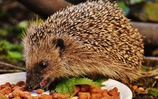 Free Hedgehog, Erinaceidae, Domesticated Hedgehog, Fauna Stock Image - 95671891