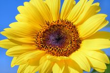 Free Flower, Sunflower, Yellow, Sunflower Seed Stock Images - 95673144