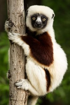 Free Lemur, Fauna, Primate, Terrestrial Animal Stock Photos - 95674553