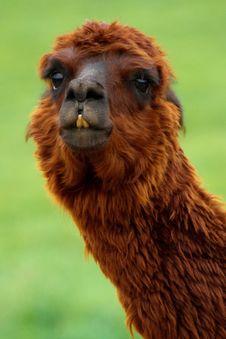 Free Camel Like Mammal, Llama, Alpaca, Terrestrial Animal Royalty Free Stock Photo - 95675165