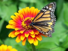 Free Butterfly, Flower, Monarch Butterfly, Moths And Butterflies Stock Images - 95677254