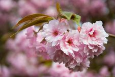 Free Flower, Pink, Blossom, Cherry Blossom Royalty Free Stock Photo - 95677285