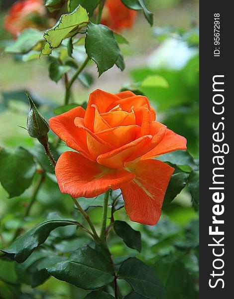 Flower, Rose, Rose Family, Plant