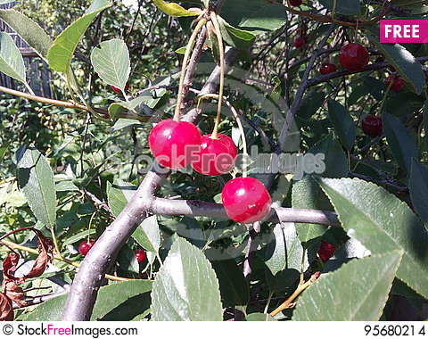 Free Beautiful, Berry, Cherry, Closeup, Color, Dessert, Diet, Eat, Eating, Floral, Food, Fresh, Fruit, Glass, Green, Group, Leaf, Life, Stock Images - 95680214