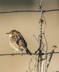 Free Songbird On Wire Fence Stock Image - 95697531