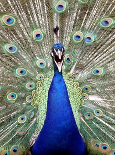 Free Peacock With Spread Feathers Stock Images - 95697594