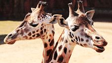 Free Giraffes In Zoo Stock Photography - 95697702