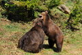 Free Brown Bears In Fight Royalty Free Stock Image - 9575976