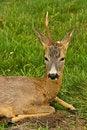 Free Injured Deer Royalty Free Stock Photo - 9577025