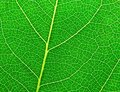Free Leaf Surface II Stock Photo - 9577800