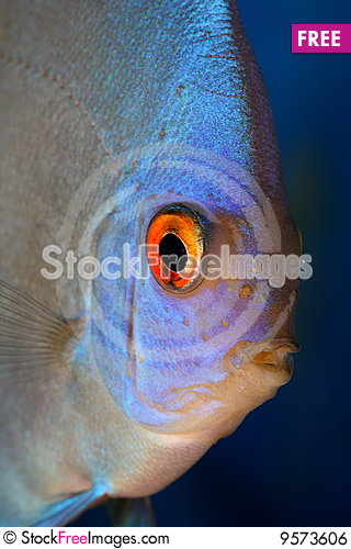 Free Discus Head Royalty Free Stock Image - 9573606