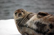 Free Seal Royalty Free Stock Photos - 9570398
