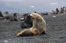 Seal Albino Royalty Free Stock Photos