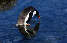 Free Gentoo Penguin Royalty Free Stock Images - 9570459