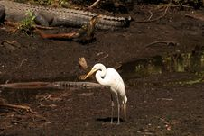 Free Great Egret Royalty Free Stock Photography - 9571687