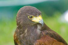 Free Harris Hawk Royalty Free Stock Images - 9571789