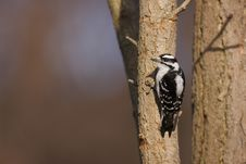 Free Downy Woodpecker (Picoides Pubescens Medianus) Stock Photography - 9572232