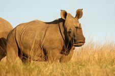 Free Baby Rhino Royalty Free Stock Photos - 9572258