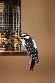 Free Downy Woodpecker (Picoides Pubescens Medianus) Royalty Free Stock Images - 9572259