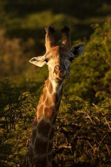Young Giraffe Stock Image