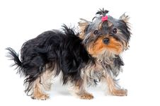 Free Puppy Of The Terrier Royalty Free Stock Photography - 9572647