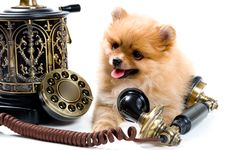 Free Puppy Of A Spitz-dog With Phone Stock Photo - 9572710