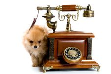 Free Puppy Of A Spitz-dog With Phone Stock Photo - 9572750