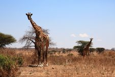 Free Giraffes Royalty Free Stock Photo - 9573535