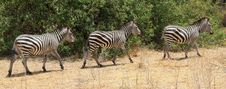 Free Zebras Walking Stock Photos - 9573543