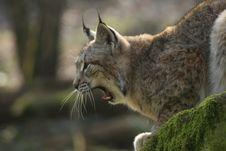 Free Yawning Lynx Stock Image - 9575141