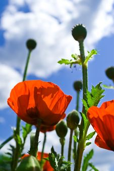 Free Poppies On Green Field Skyline Royalty Free Stock Images - 9575379