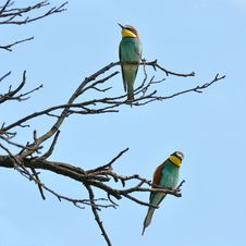 Tree With Bee Eaters Stock Photography