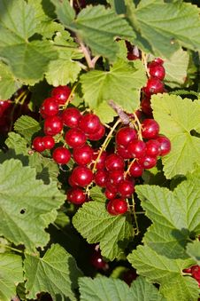 Free Red Currant Stock Photo - 9576400