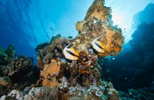 Coral And Bannerfish Stock Images