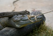 Free Crocodile On Cuba Stock Image - 9577941
