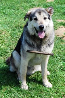 Free Romanian Shepherd Dog Stock Image - 9577981
