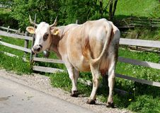 Free Cow Royalty Free Stock Image - 9577996