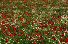 Free Poppy Field Stock Image - 9578461