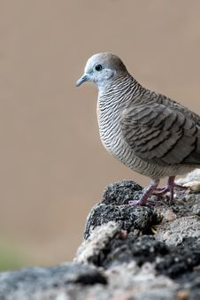 Free Dove On A Rock Royalty Free Stock Images - 9578699