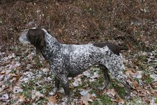 A Camouflaged German Short Haired Pointer Royalty Free Stock Images