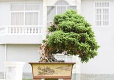 Free A Bonsai Of Banyan Stock Image - 9579901