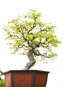 Free A Bonsai Of Banyan Stock Photography - 9579942